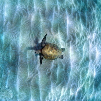 Honu Infinity Fine Art Photography on Metal by Artist Michael Sweet